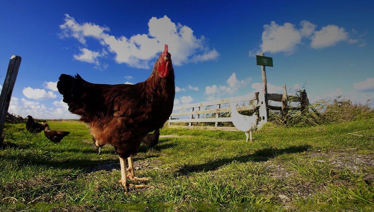 slide-poulet-1